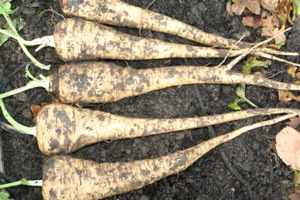 These parsnips were sown in well decomposed manure on top of heavy clay soil
