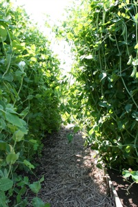Wonderful avenue of climbing peas, Tall Sugar and Mr Bray, on June 29th