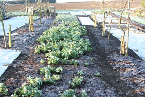 Another frosty morning, over-wintered broad beans and garlic are coping... new plantings under fleece