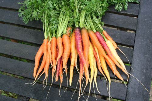 Carrots pulled early June - Nantes, Purple Haze and Rainbow (grown in undug clay, well rotted cow manure on surface)