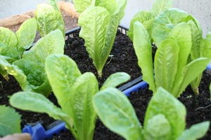 Cos lettuce greenhouse, Valmaine front and Little Gem behind, for leaves