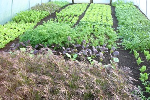 unnel salads have grown fast, lettuce at far end planted 6 weeks ago