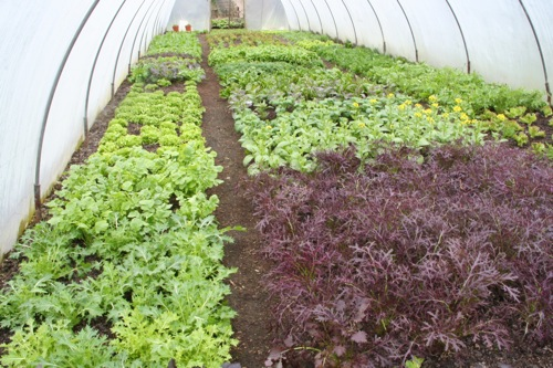 Polytunnel salads have overwintered well: mizuna, Red Frills mustard, pak choi flowering, spinach, endives etc