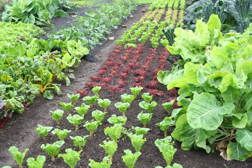 Leaf lettuce still thriving after a mild autumn and leaf quality is good. On right is tree cabbage (from Real Seeds), on left is spring cabbage netted against rabbits and pigeons