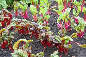 Chard survives if winter is mild, or dig roots to make leaves indoors