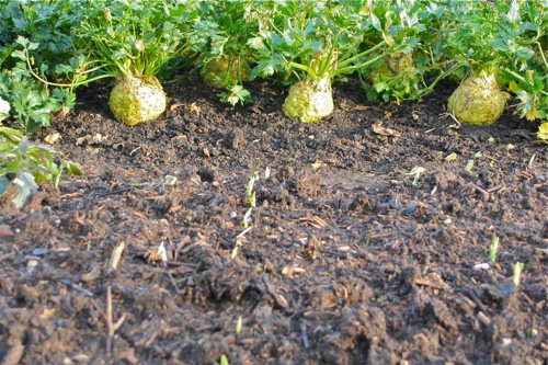 Broad beans emerging already, sown 21.10 with compost on top, celeriac behind