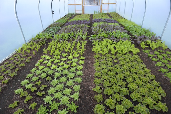 Winter salads in no dig polytunnel in December