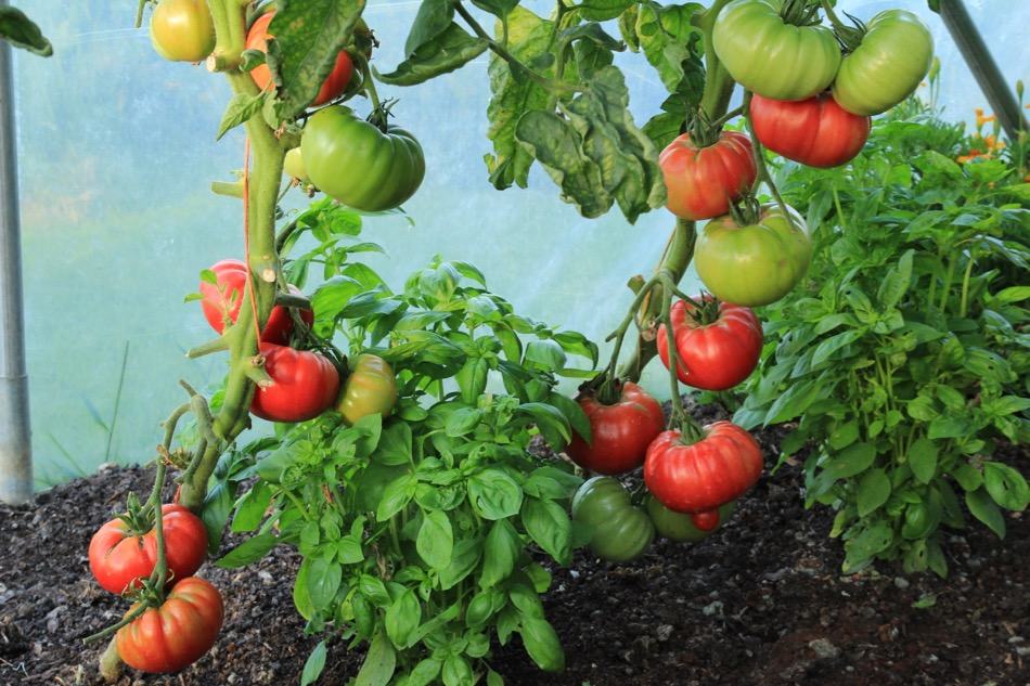 August 15th tomatoes, sowing, harvests, watering, filming
