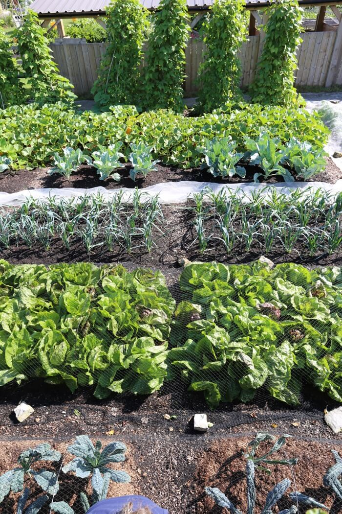 13th August strips 2 & 3 growth of veg kale, chicory, leeks, cabbage etc