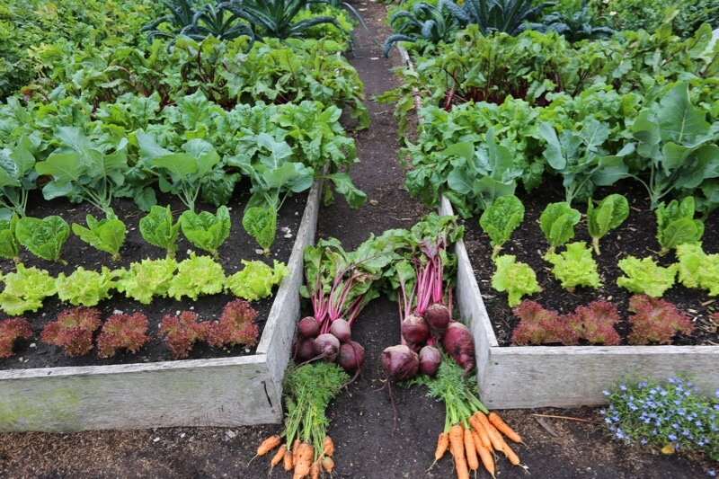harvests of carrots, beetroot dig/no dig trial
