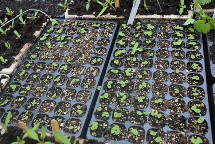 8 day old basil seedlings sown April