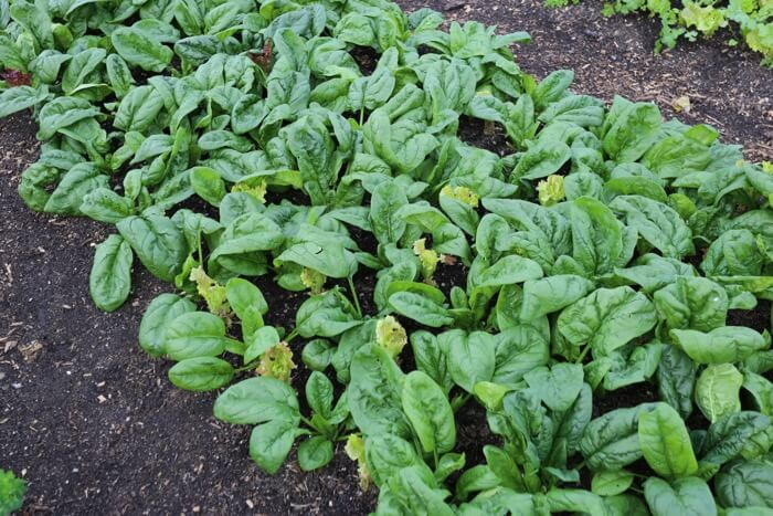 Autumn spinach from August sowing