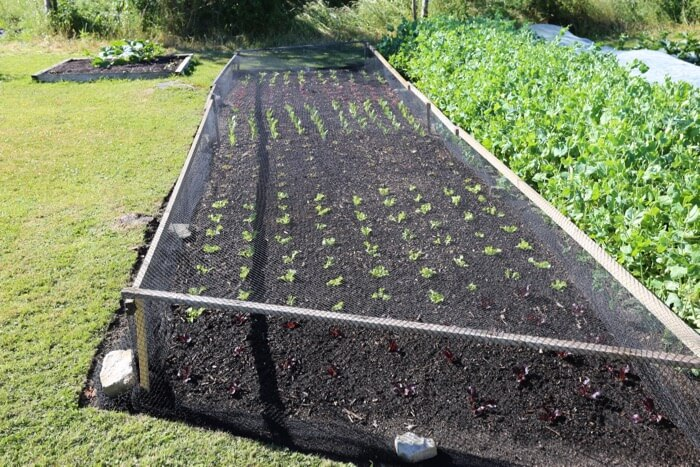 New planting of lettuce for summer harvests