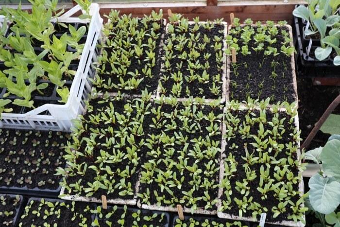 June sowings of beetroot etc