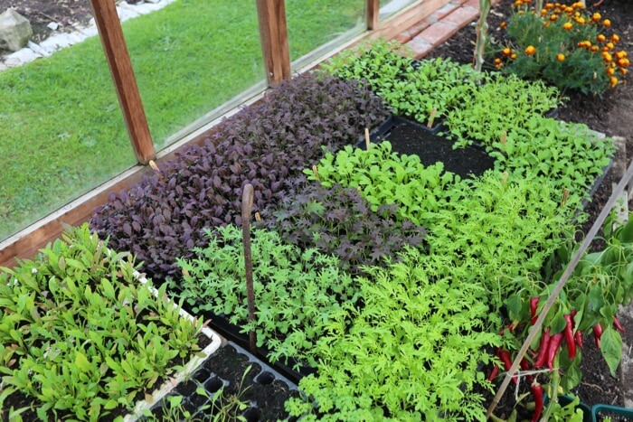 For planting under cover in October, mustards