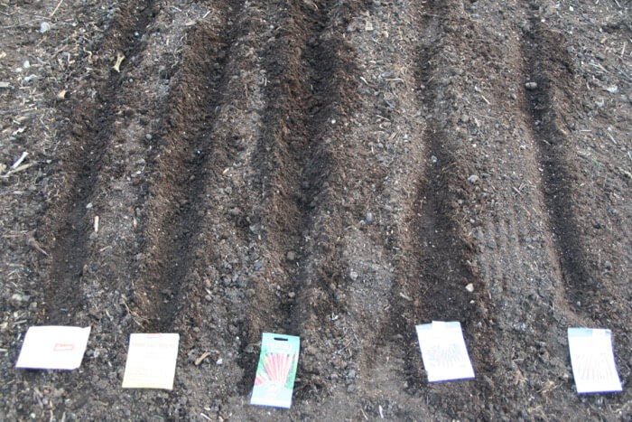 Carrots sown direct into compost no dig