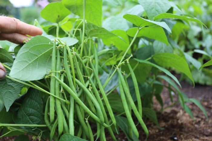 Dwarf French beans ready to pick
