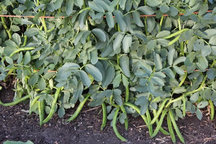Broad beans ready to pick
