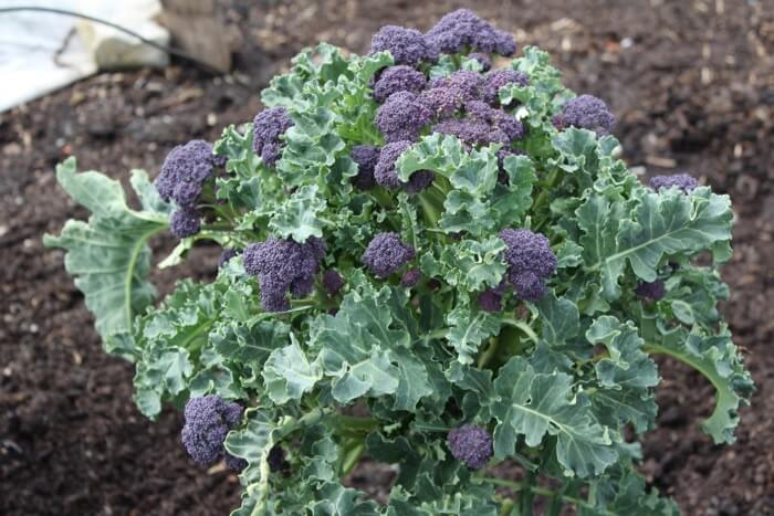 Purple broccoli heads