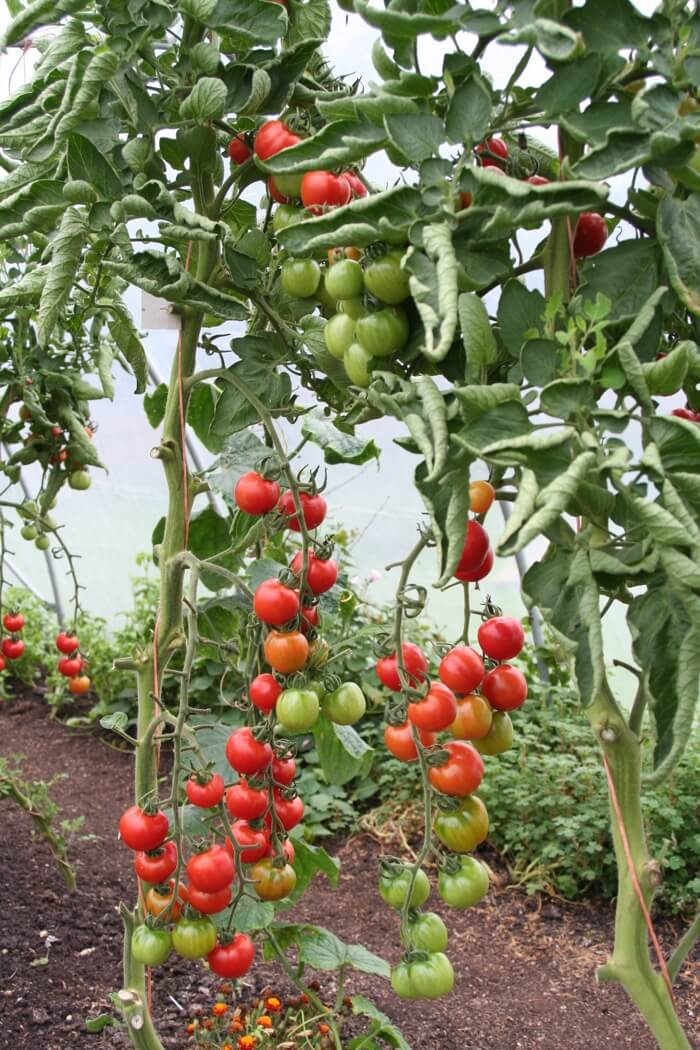 Tomatoes ripening Gardeners Delight