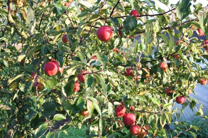 Jupiter apple trees