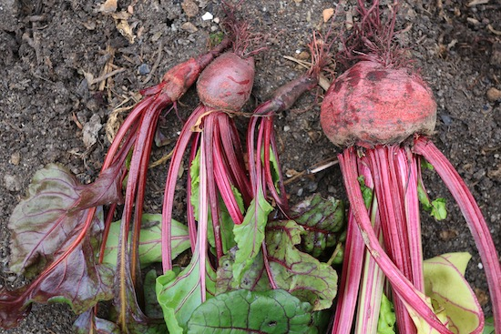 Boltardy beetroot multisown clump