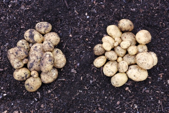 Potato harvest no dig