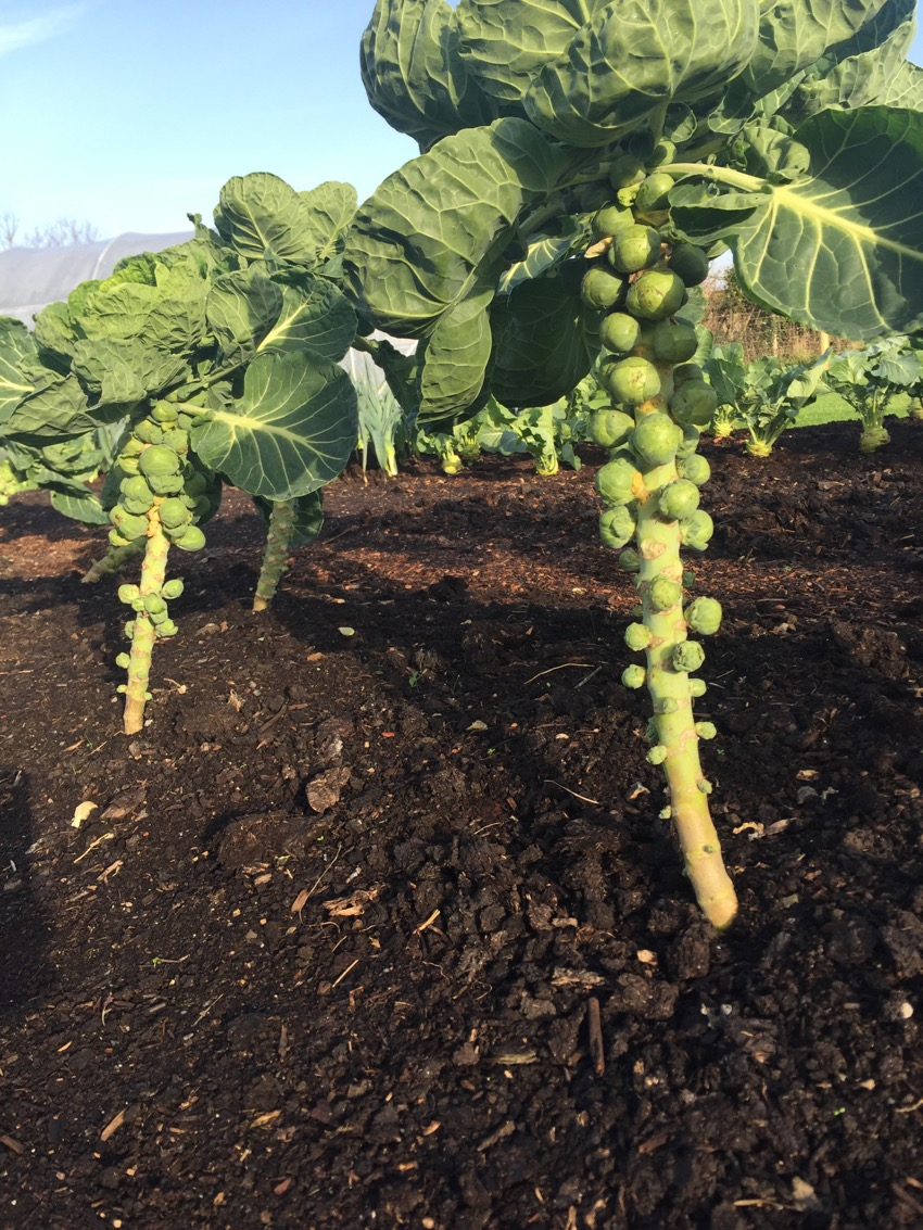 Brussels sprouts Christmas, sown May no dig