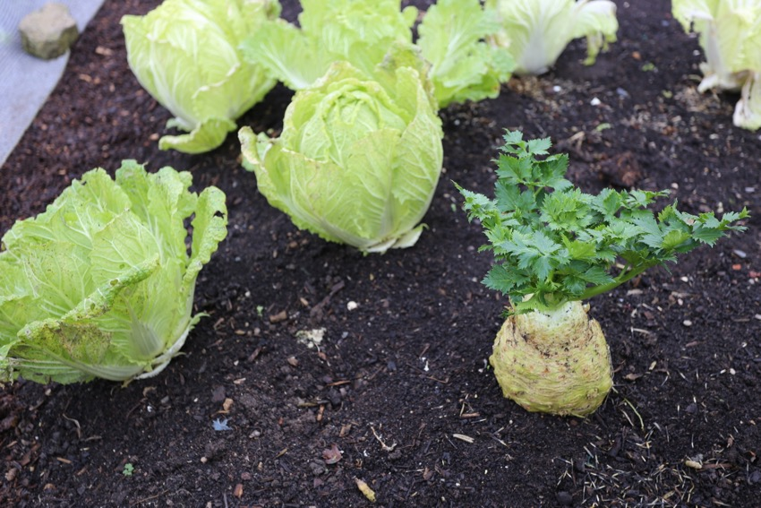 Celeriac and Chinese cabbage