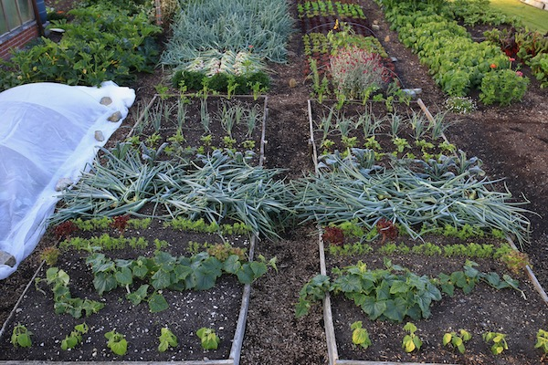 By 12th July there are new plantings for succession