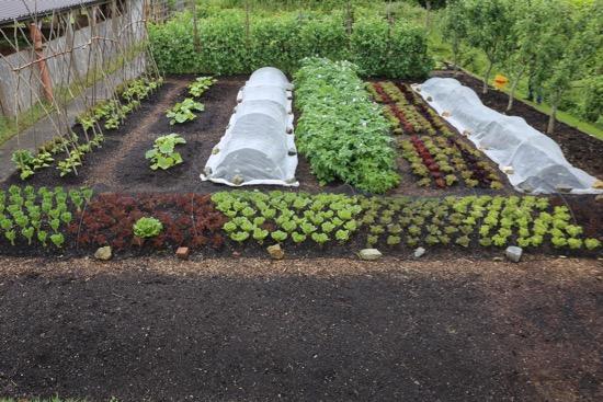 New brassica plantings under mesh