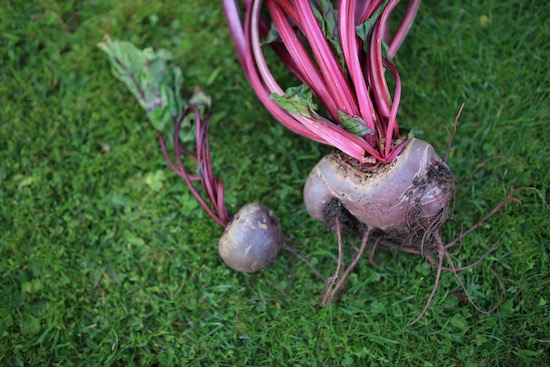 Poor quality beetroot from Kings Seeds