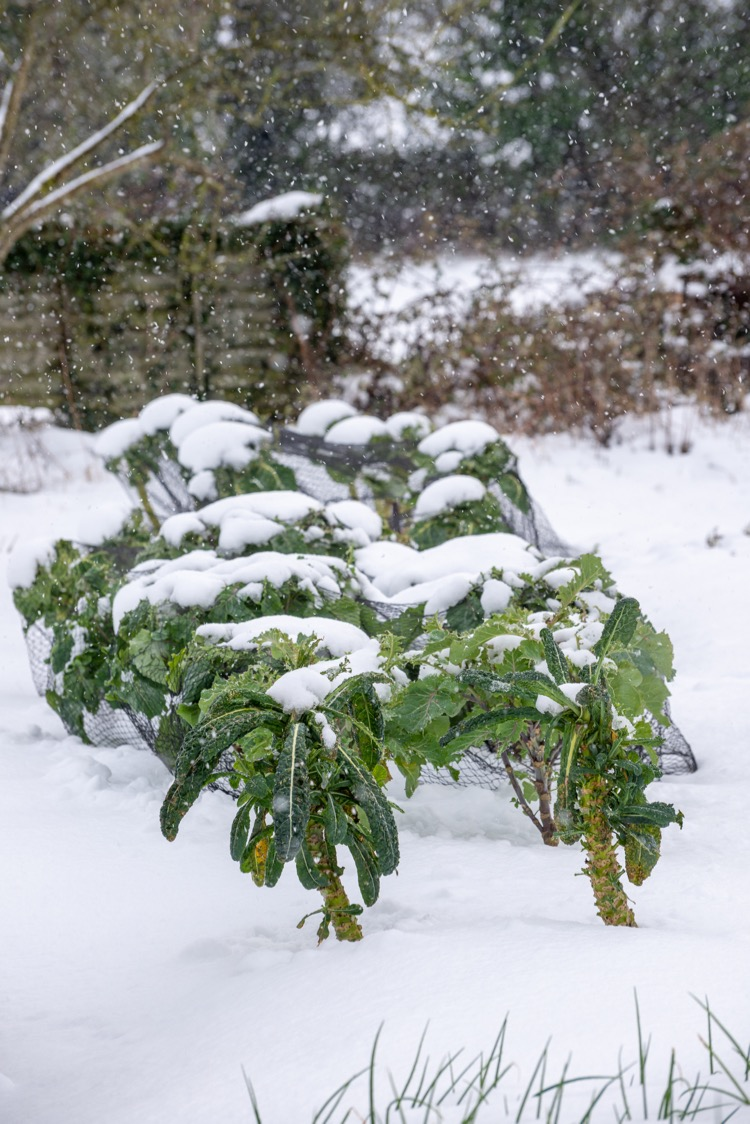 Snow on kale and Brussels sprouts