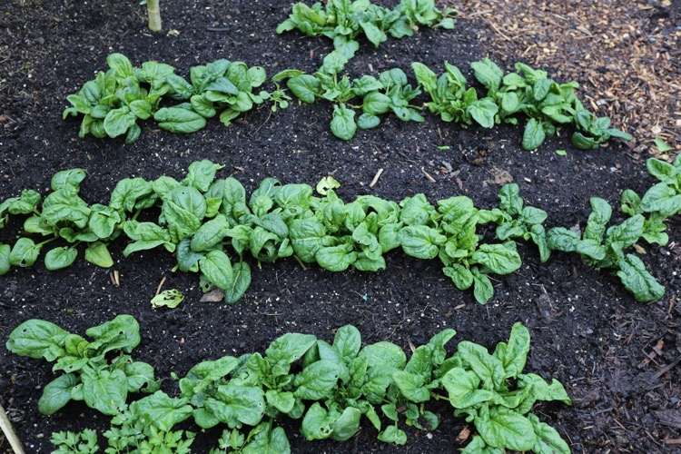 Spinach winter was inter-sown