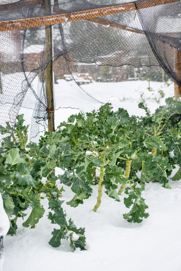 Broccoli winter, netted against pigeon pests