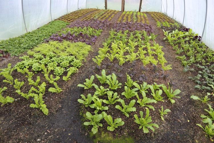 Salad plants polytunnel 5 months old
