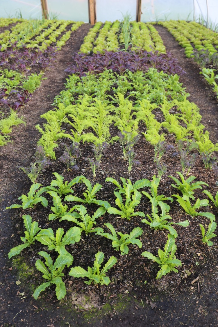 Polytunnel salads for winter leaves no dig