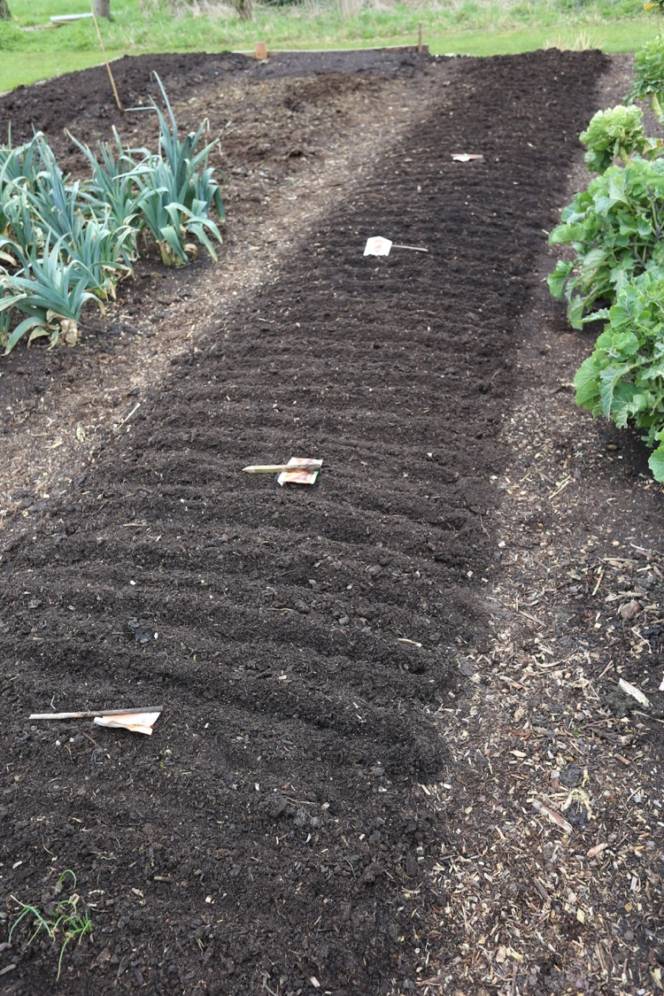 Many carrot seeds sown, a few radish