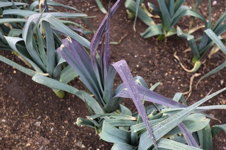Purple leek leaves