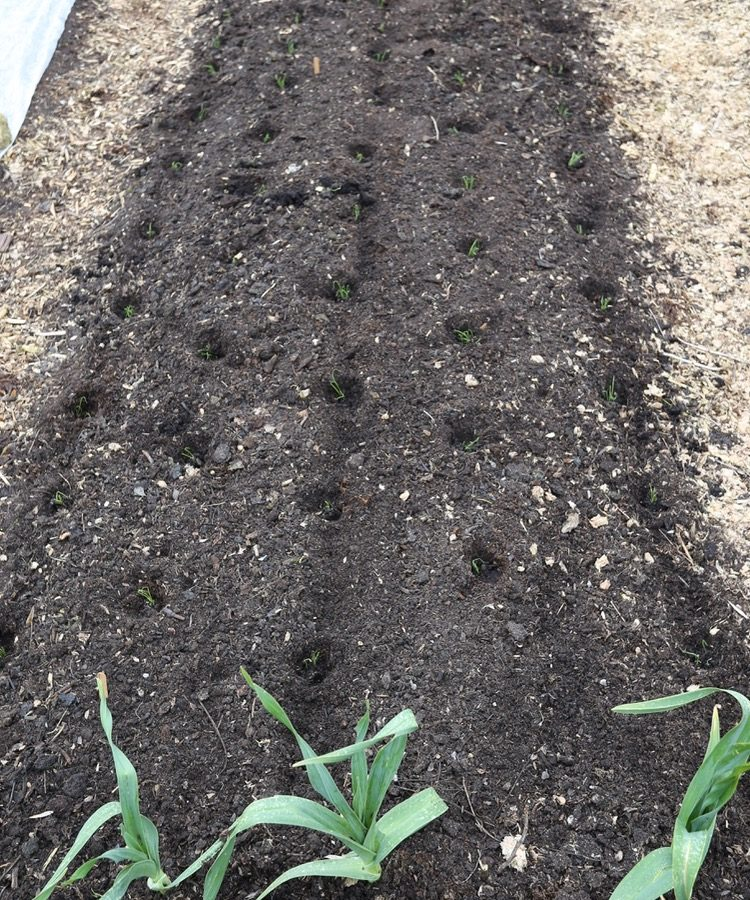 Onion seedlings multisown & planted no dig