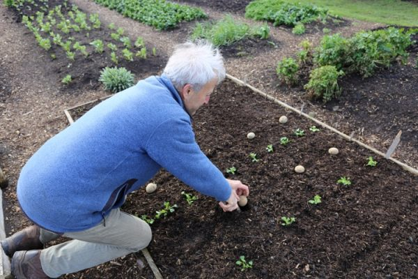 Charles uses trowel to plant potato no dig
