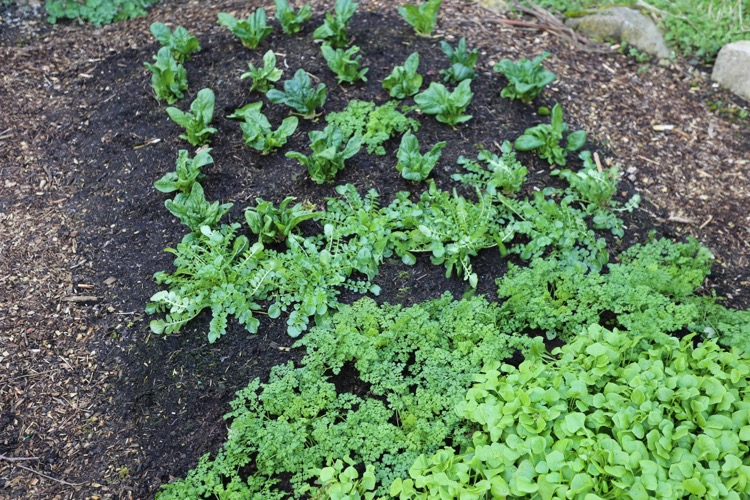 winter salads no dig outdoors Homeacres