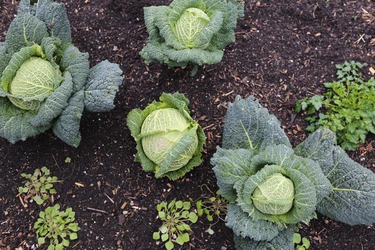 No dig savoy cabbage Charles D