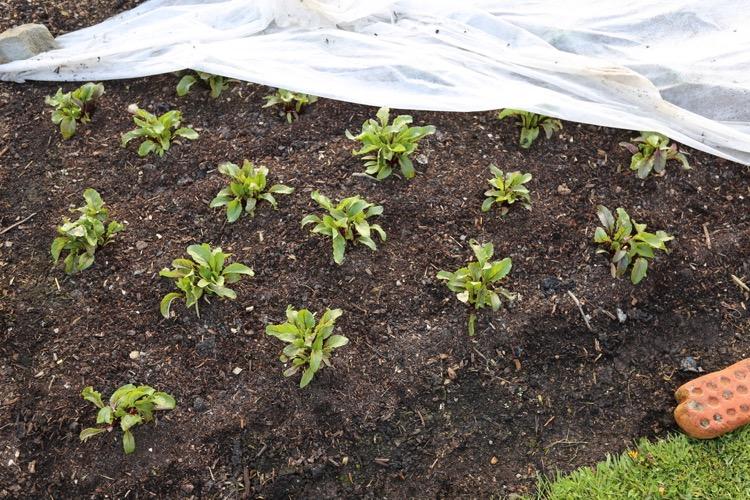 Multisown beetroot planted 4 weeks