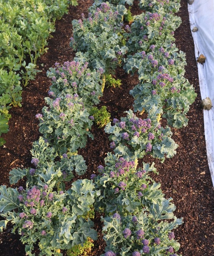 Lovely purple broccoli ready to pick