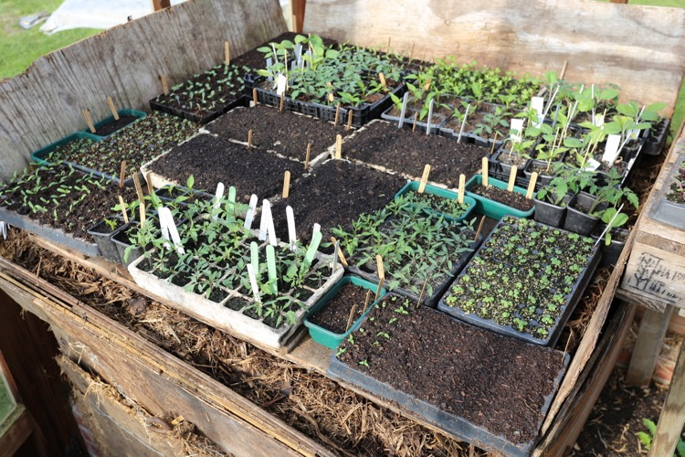 Seed and module trays on hotbed, Homeacres