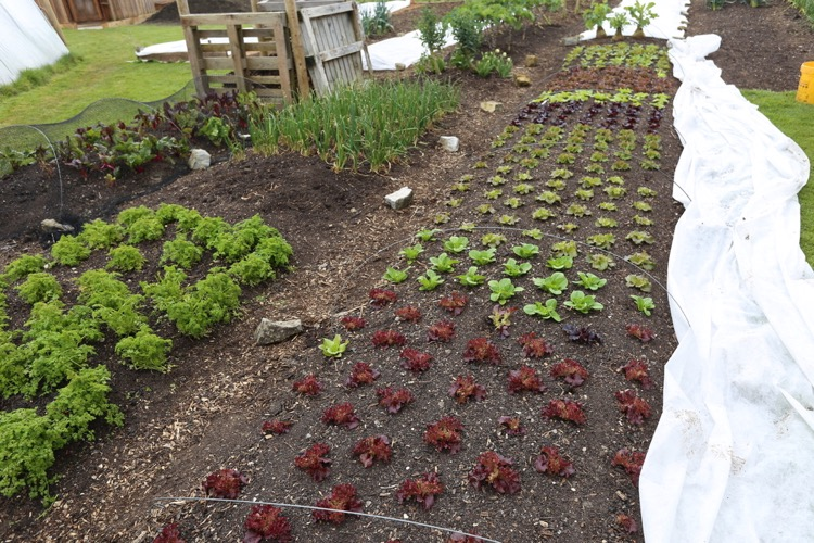 lettuce growing & fleece over