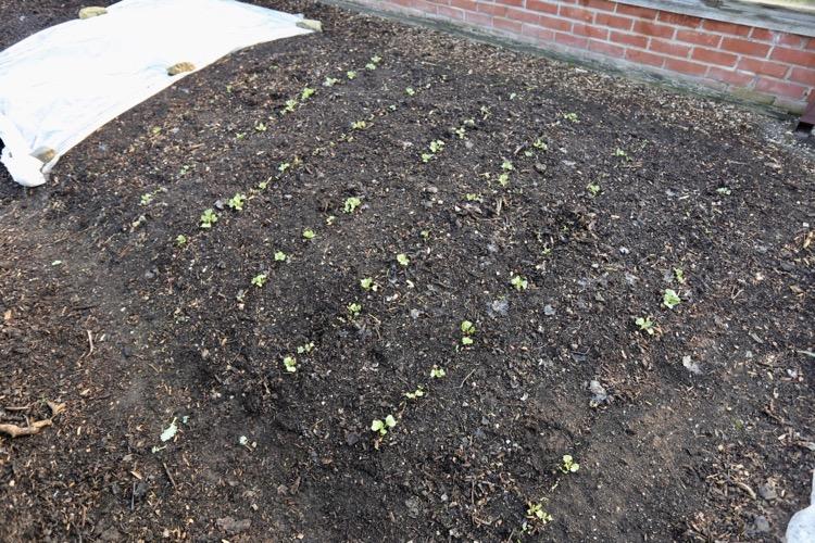 Parsnips emerging plus radish