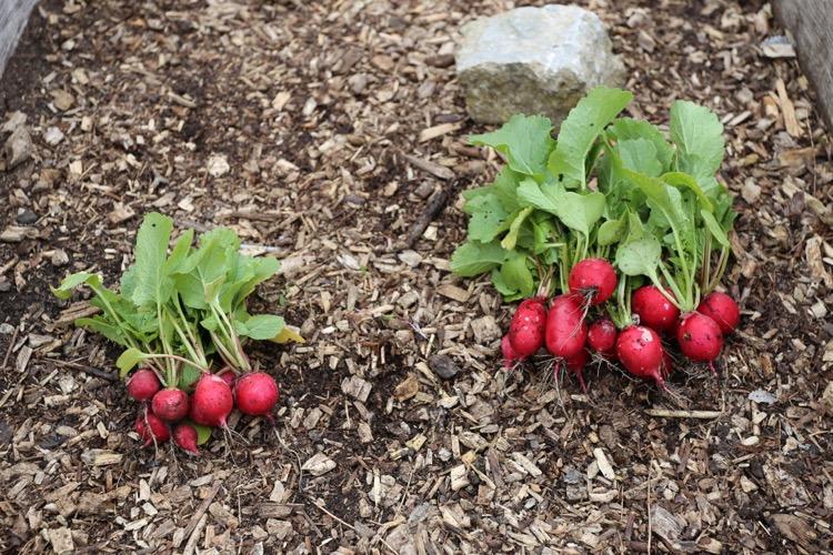 Radish harvest larger on no dig