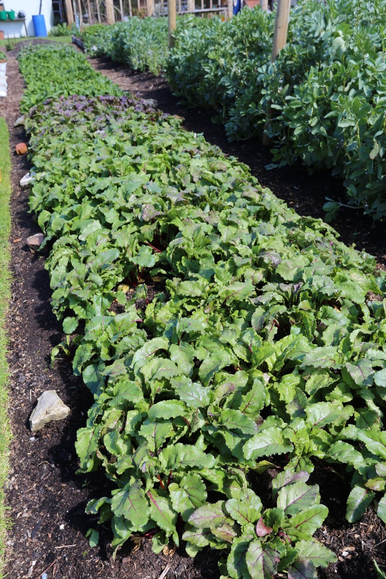 Beetroot plants after cover removed